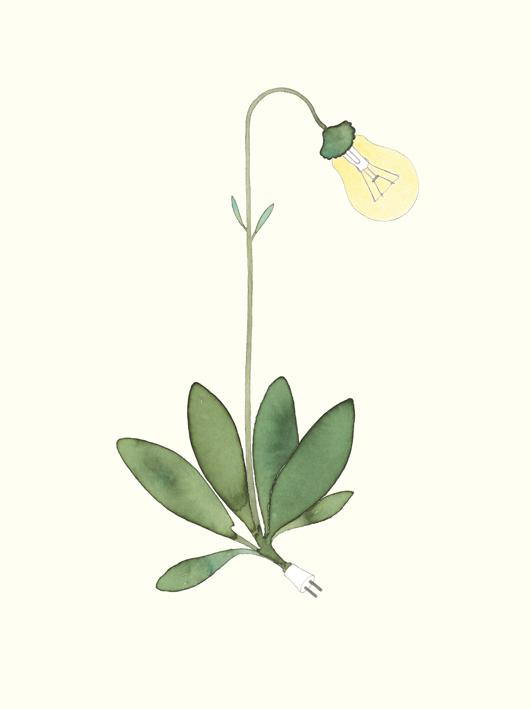 gem. kleinwüchsige Glühbirne, Aquarell, 24 x 32 cm