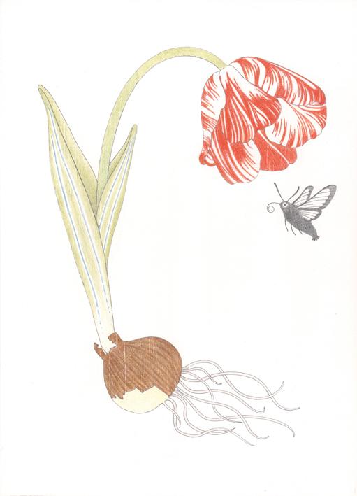 Tulpe im Gespräch mit einem Hummelschwärmer, Buntstiftzeichnung auf Holz, 21 x 29 cm, 2014